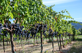 Wineries and Vineyards in southern Oregon